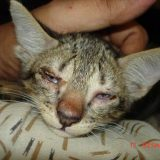 Cheetah, Stage I Infection, Conjunctivitis